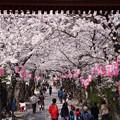 Photos: 赤門の中、桜の参道!2013春