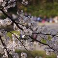 写真: 桜の花見の宴!130323