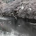 写真: ユリカモメ桜a