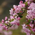 写真: 海棠の花2!