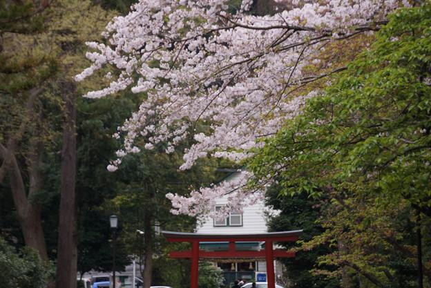 西門鳥居と桜!130330