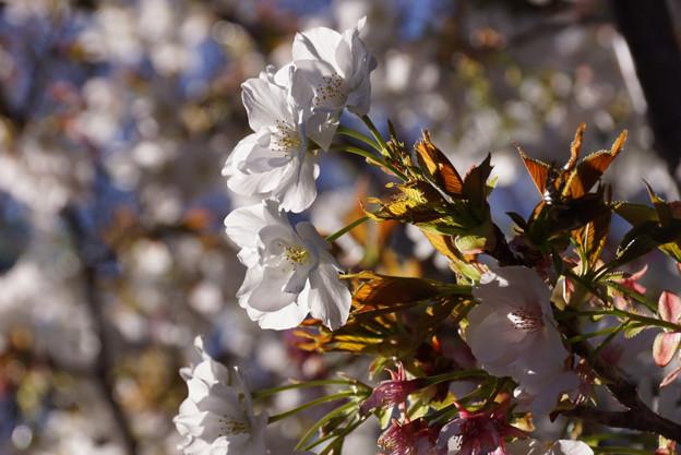 御室桜咲く!130407