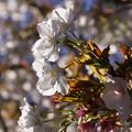 写真: 御室桜咲く!130407