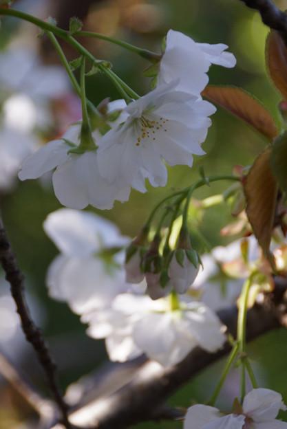 御室桜咲く3!130407