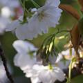 写真: 御室桜咲く3!130407