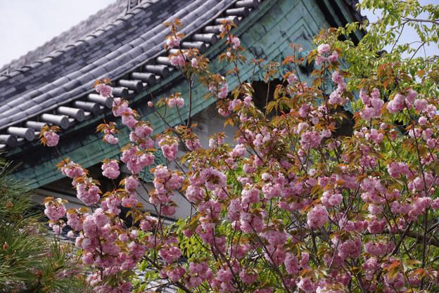 お寺の八重桜!130413