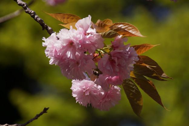 八重桜、桜餅!
