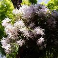 Photos: セッコク、海蔵寺!130427