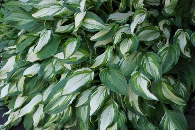 写真: ギボウシの葉!130512