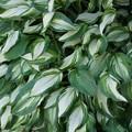 Photos: ギボウシの葉!130512