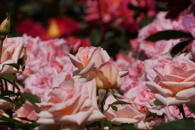 ピンクのバラのつぼみ開く!130518