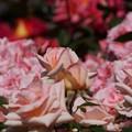 写真: ピンクのバラのつぼみ開く!130518