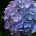 Photos: 大玉の紫陽花!130531
