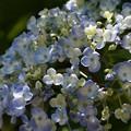 写真: うず紫陽花!130531