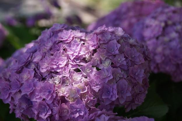 Photos: 八重咲の紫陽花2、長谷!130531