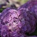 八重咲の紫陽花2、長谷!130531