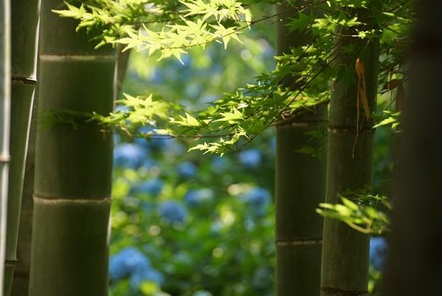 竹林の紫陽花!130609