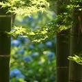 Photos: 竹林の紫陽花!130609