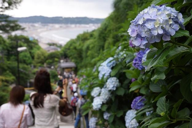 海を見る成就院参道の紫陽花2!130615