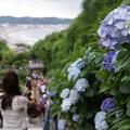 Photos: 海を見る成就院参道の紫陽花2!130615