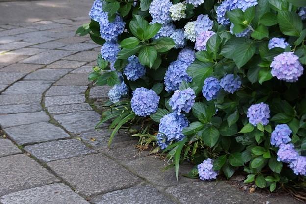 石畳の参道と紫陽花!130629