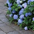 Photos: 石畳の参道と紫陽花!130629
