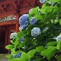 Photos: 二天門と紫陽花!130629
