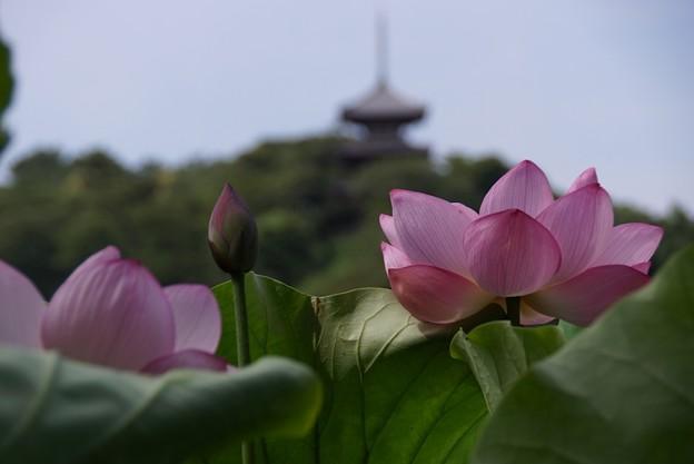 写真: 三重塔と蓮130720-745