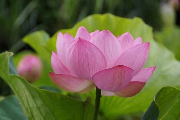蓮の花130720-422