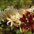 写真: 白花マンジュシャゲ2!130921