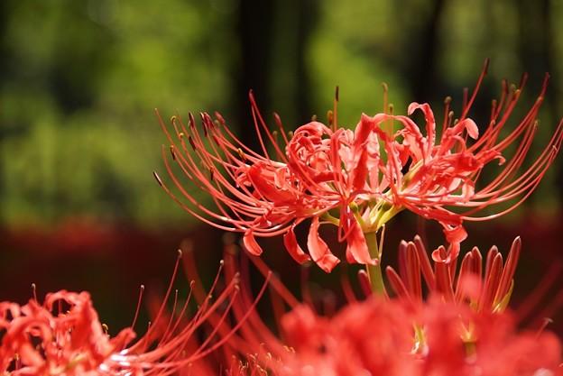 写真: 真赤なマンジュシャゲ咲く!130921