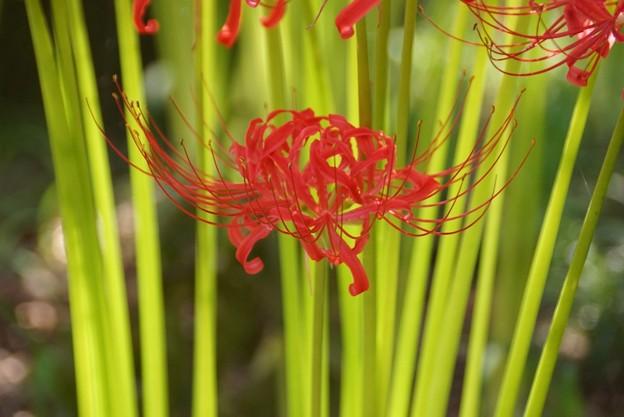 写真: 緑と真赤なマンジュシャゲ!130921