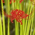 Photos: 緑と真赤なマンジュシャゲ!130921