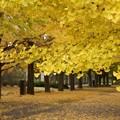 写真: 銀杏並木a!131109