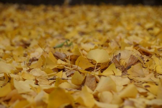 黄葉落ち葉とカマキリ!131109