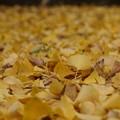 写真: 黄葉落ち葉とカマキリ!131109