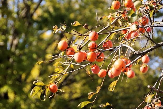 柿の実と銀杏の木!131116