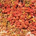 写真: 紅葉に染まる蔦の葉!131116