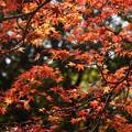 Photos: 蓮華寺の紅葉見頃31201