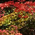 写真: 蓮華寺の紅葉と黄葉131201