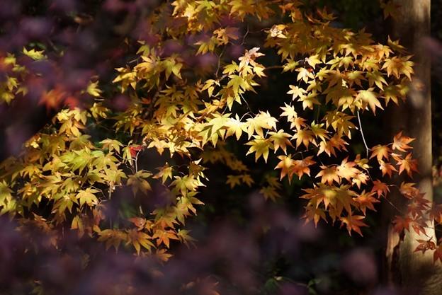 蓮華寺の黄葉131201