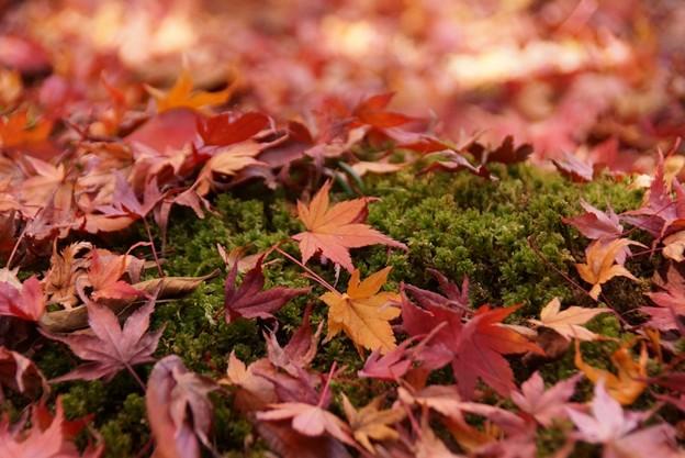 蓮華寺苔庭の散紅葉131201