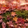 Photos: 蓮華寺苔庭の散紅葉131201