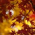 写真: 黄葉と紅葉姿!131201