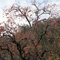 写真: 晩秋の柿木、実がいっぱい!131202