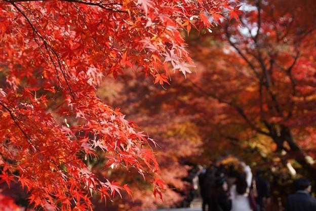 写真: 紅葉をアップで参道!131202