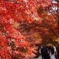 Photos: 紅葉をアップで参道!131202
