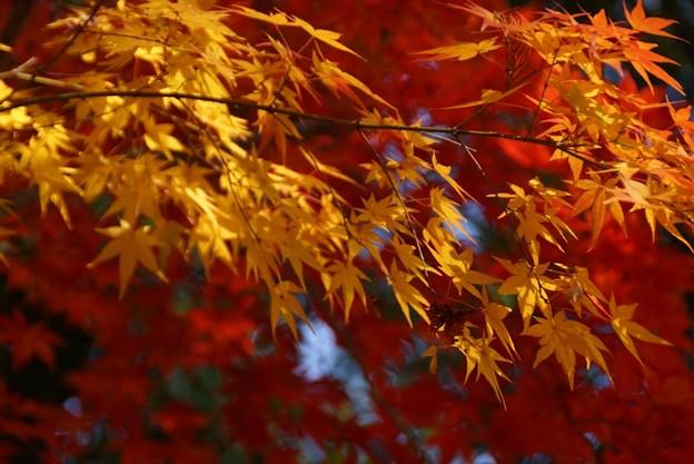 Photos: 黄葉と紅葉3!131202