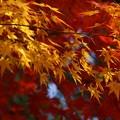 写真: 黄葉と紅葉3!131202