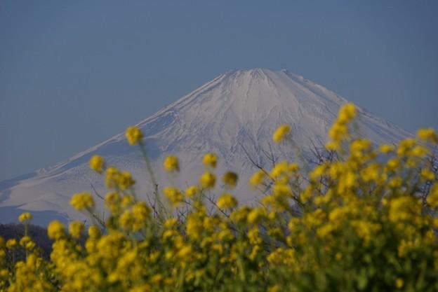 写真: 富士山と菜の花!140102